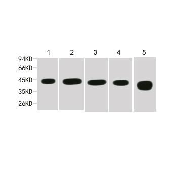 β-actin Mouse mAb