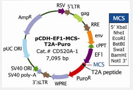 pCDH-EF1-MCS-T2A-Puro