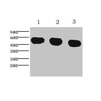 α-tubulin Monoclonal Antibody