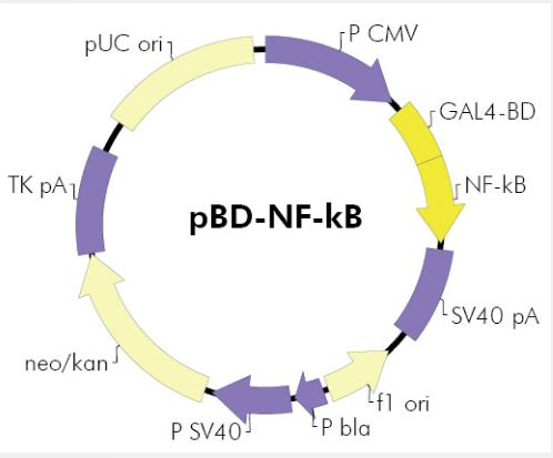 pBD-NF−κB