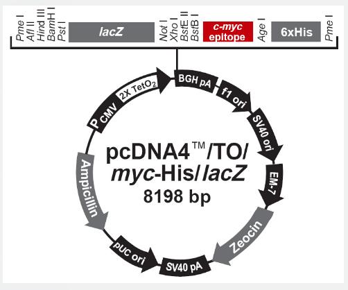 pcDNA4/TO/Myc-His/LacZ