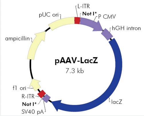 pAAV-LacZ