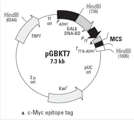 pGBKT7