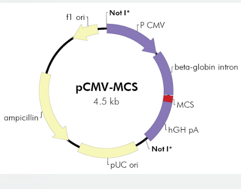 pCMV-MCS