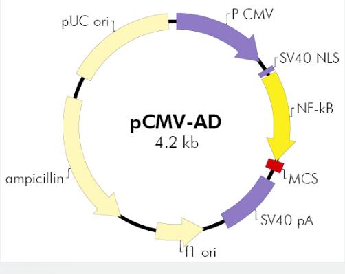 pCMV-AD