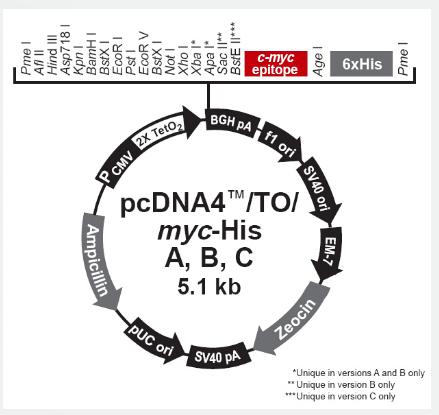 pcDNA4/TO/Myc-His C