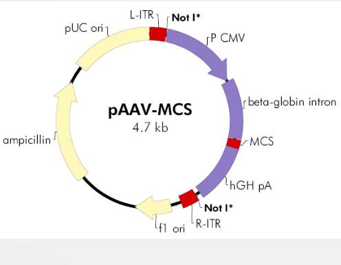 pAAV-MCS