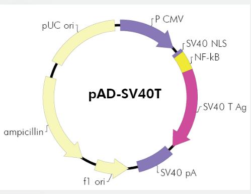 pAD-SV40T