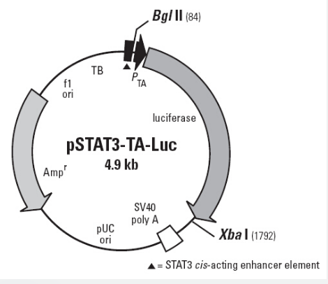pSTAT3-TA-Luc