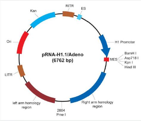 pRNA-H1.1/Adeno