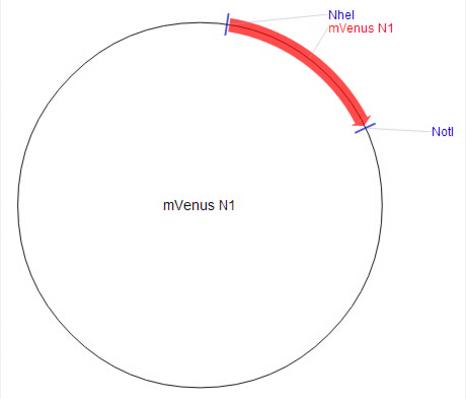 mVenus-N1