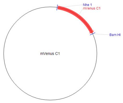 mVenus-C1