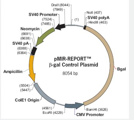 pMIR-REPORT β-gal Control