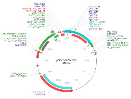 pBiFC-VN155(I152L)