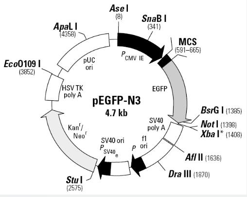 pEGFP-N3