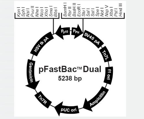 pFastBacDual