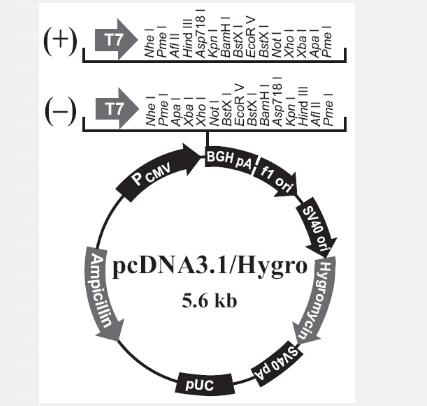 pcDNA3.1/Zeo(+)