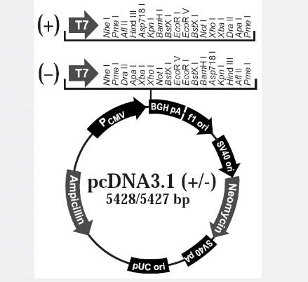 pcDNA3.1(-)