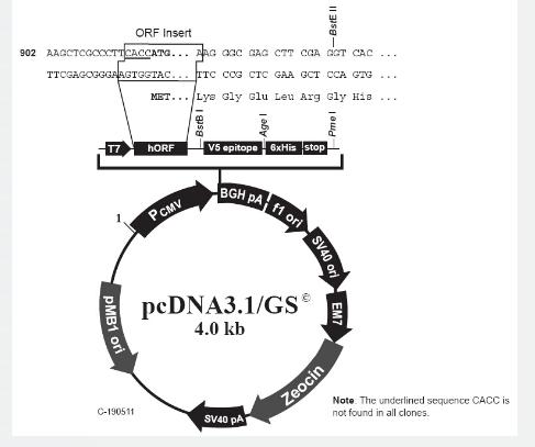 pcDNA3.1/GS