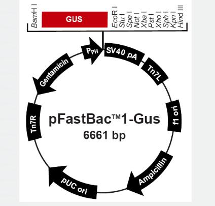 pFastBac1-Gus