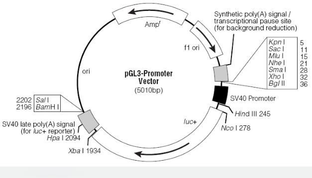 pGL3-Promoter