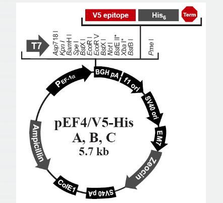 pEF4/V5 His A