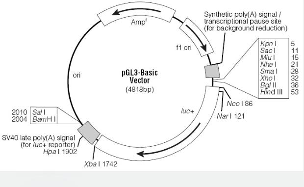 pGL3-Basic