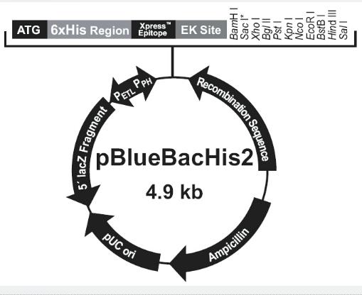 pBlueBacHis2 A