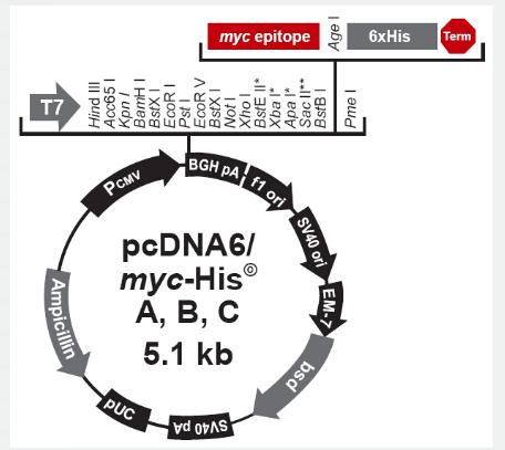 pcDNA6/myc-His B