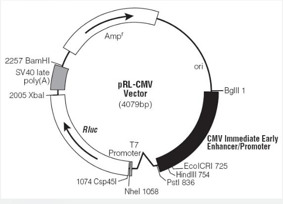 pRL-CMV