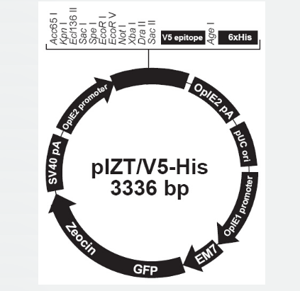pIZT/V5-His