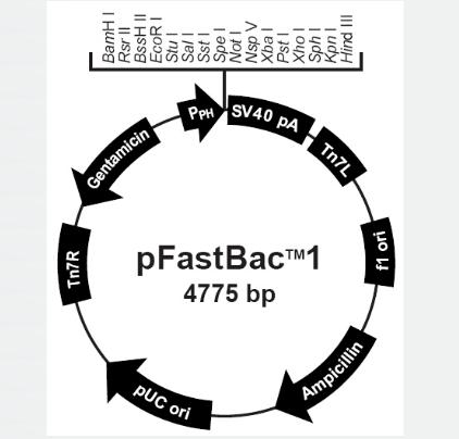 pFastBac1
