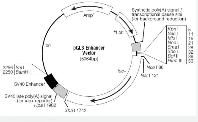 pGL3-Enhancer