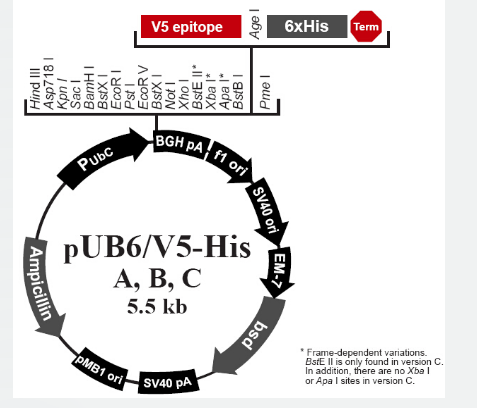 pUB6/V5-His C