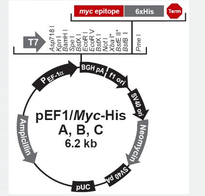pEF1/myc-His B