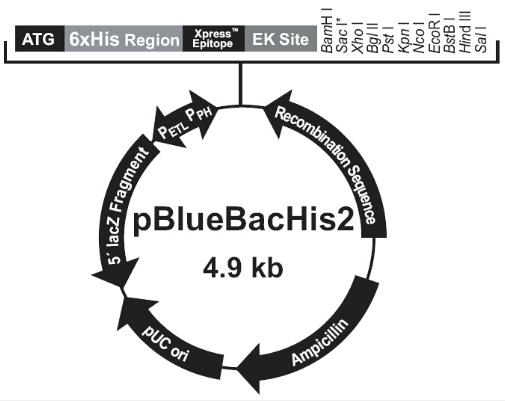pBlueBacHis2 C