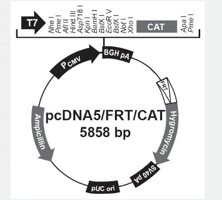 pcDNA5/FRT/CAT