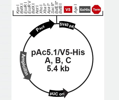 pAc5.1 V5-His B