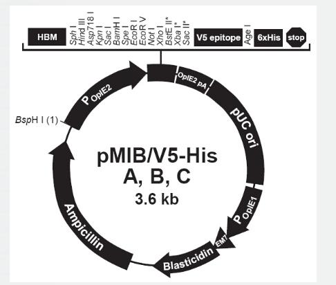 pMIB/V5-His B
