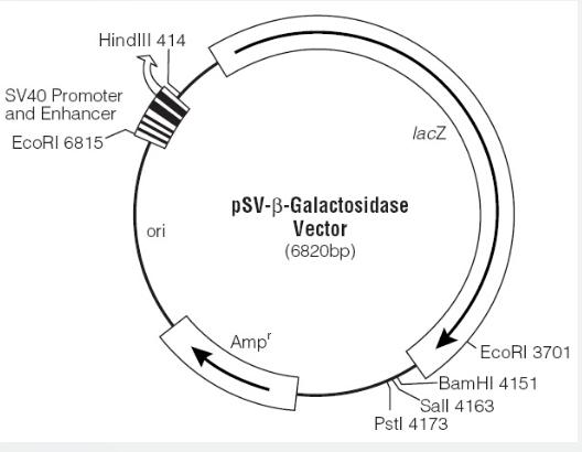 pSV-β-Galactosidase