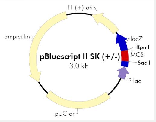 pBluescript II SK(+)
