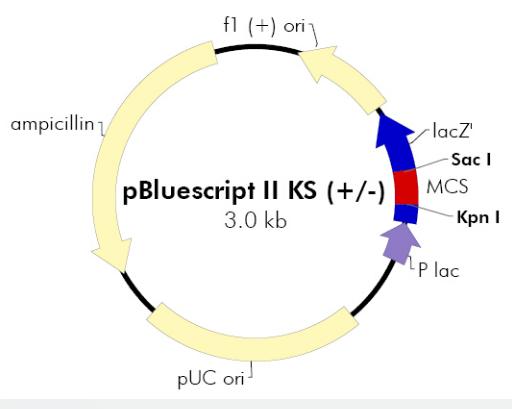 pBluescript II KS(+)