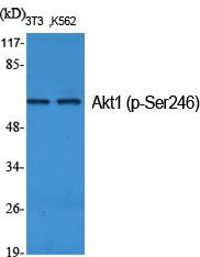 Akt1 (phospho Ser246) Polyclonal Antibody