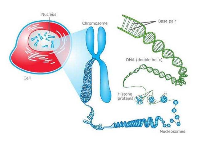 磁珠法动物组织细胞基因组DNA提取试剂盒